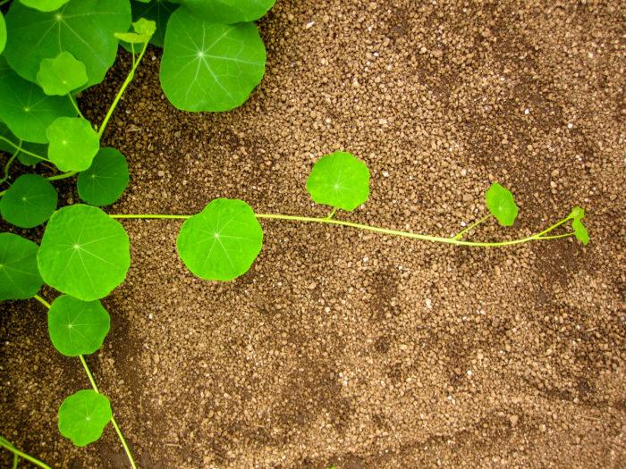 土の上を緑の蔦の葉が伸びています。