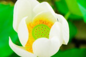 白いハスの花が見事に咲いています。花の真ん中には、種が見えています。