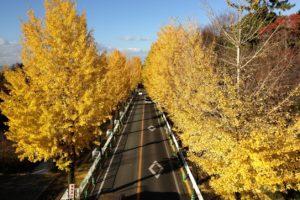 銀杏並木が空の青さに映え、鮮やかに広がっています。