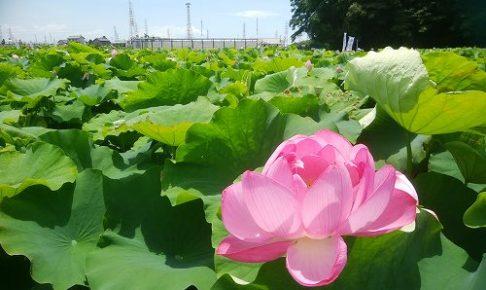 田んぼ一杯に大きな蓮の葉が咲いています。その中に一輪、ピンクの大きな花弁を付けた花が、花がしおらしく咲いています。