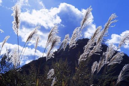 青空にススキが風になびいています。